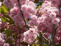 #1 Cherry blossom