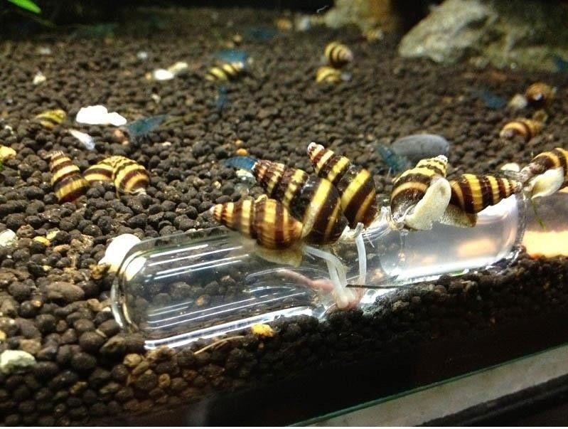 Assassin Snails  Clea Helena  My Aquarium Club