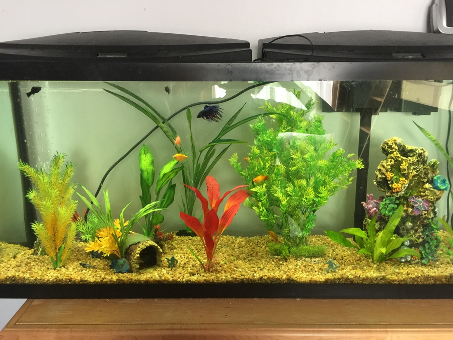 Only My Mollies Are Dying   My Aquarium Club