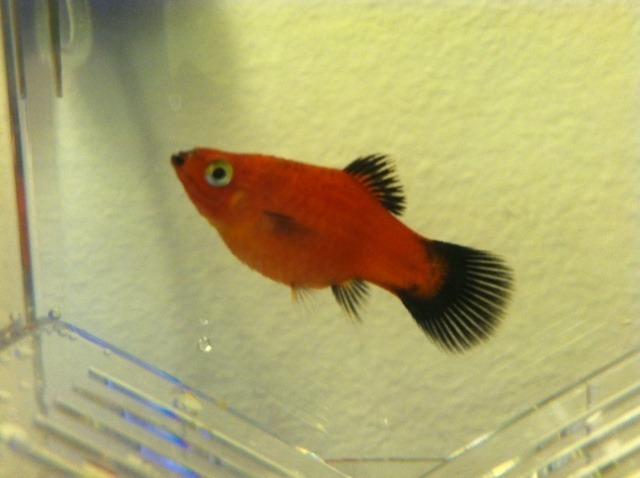 Pregnant Red Wag Platy??? | My Aquarium Club