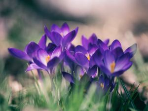 close up of purple crocuses