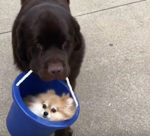 Apra la posta: Ospitato da un Pomeranian che vero sa viaggiare