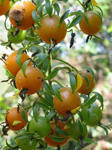 Hawaii Invasive Species Council  Barbados Gooseberry
