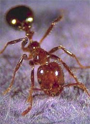 Invasive species red imported fire ants essay
