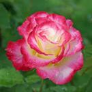 Roseforyou_2