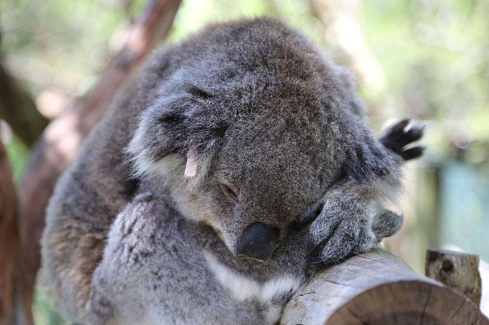 Koala, Phillip Island.