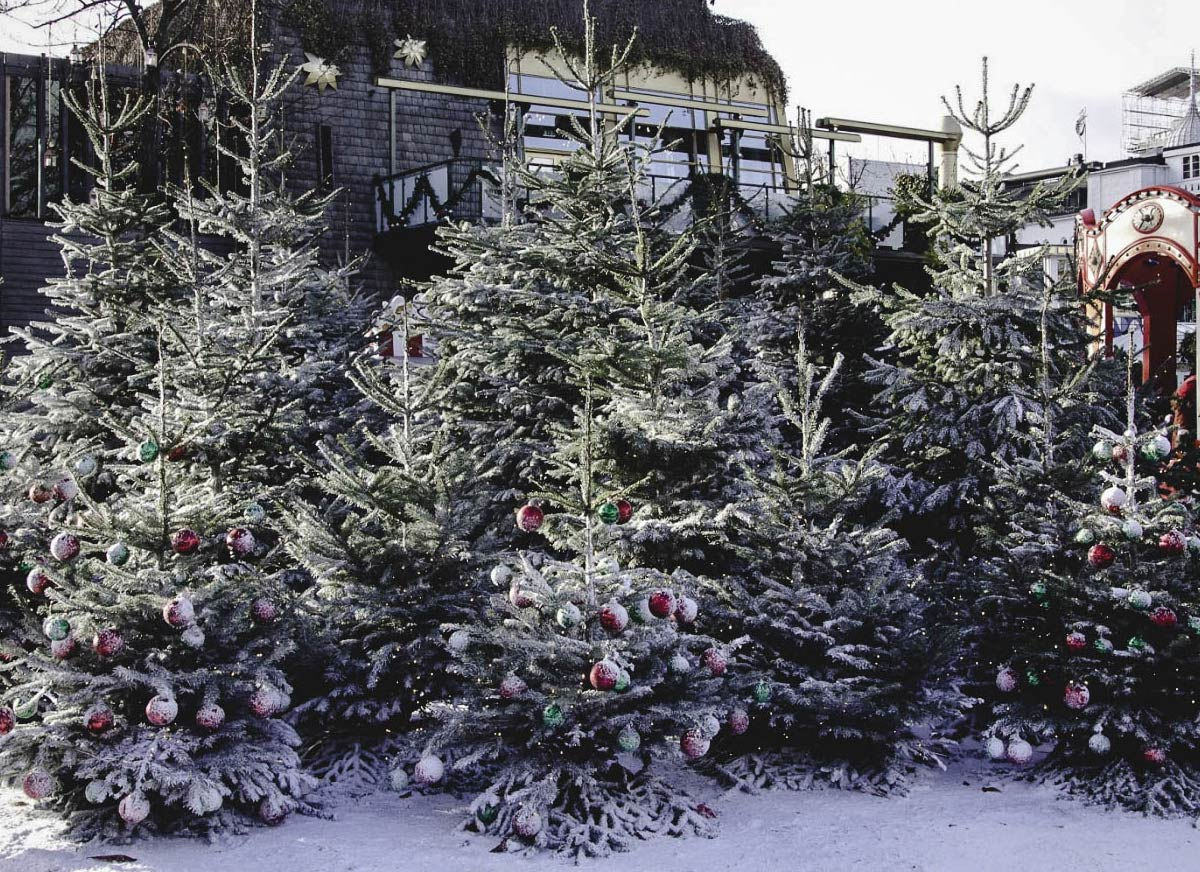 Traditional Danish Christmas Trees