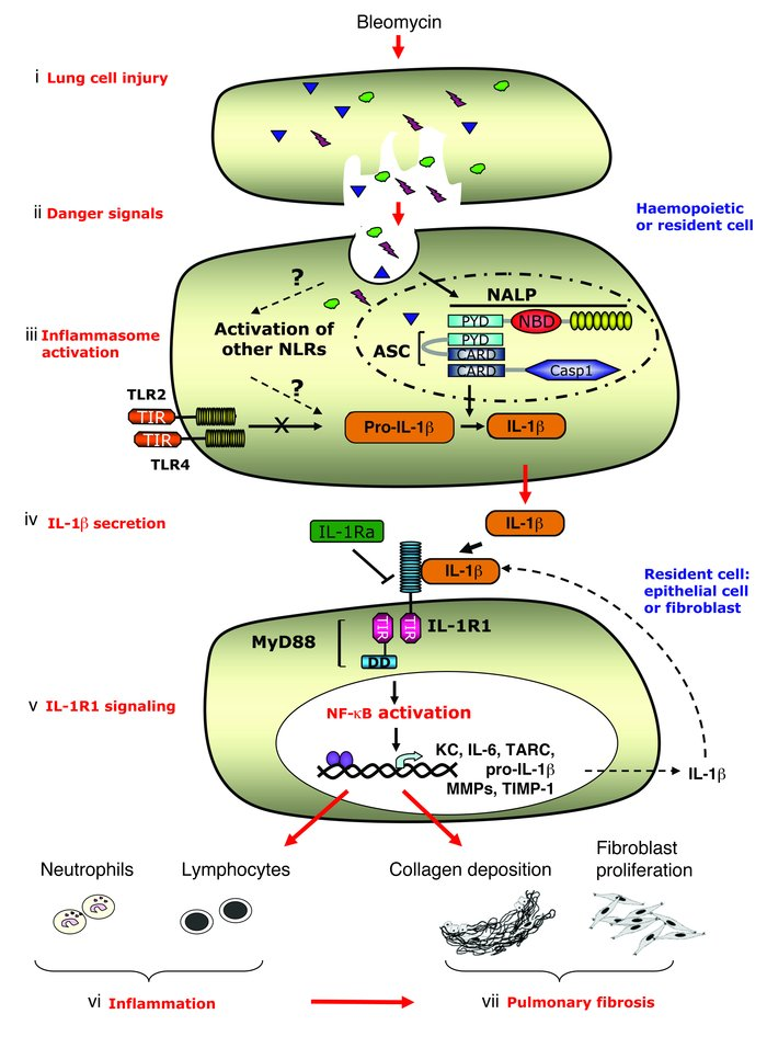 cell membrane diagram jeep tj radio wiring jci - il-1r1/myd88 signaling and the inflammasome are essential in pulmonary inflammation ...