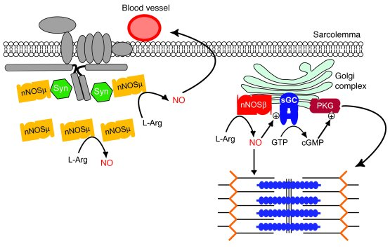 mouse skeletal diagram australian trailer plug wiring jci golgi and sarcolemmal neuronal nos differentially regulate model for nnos splice variant microdomain signaling in muscle