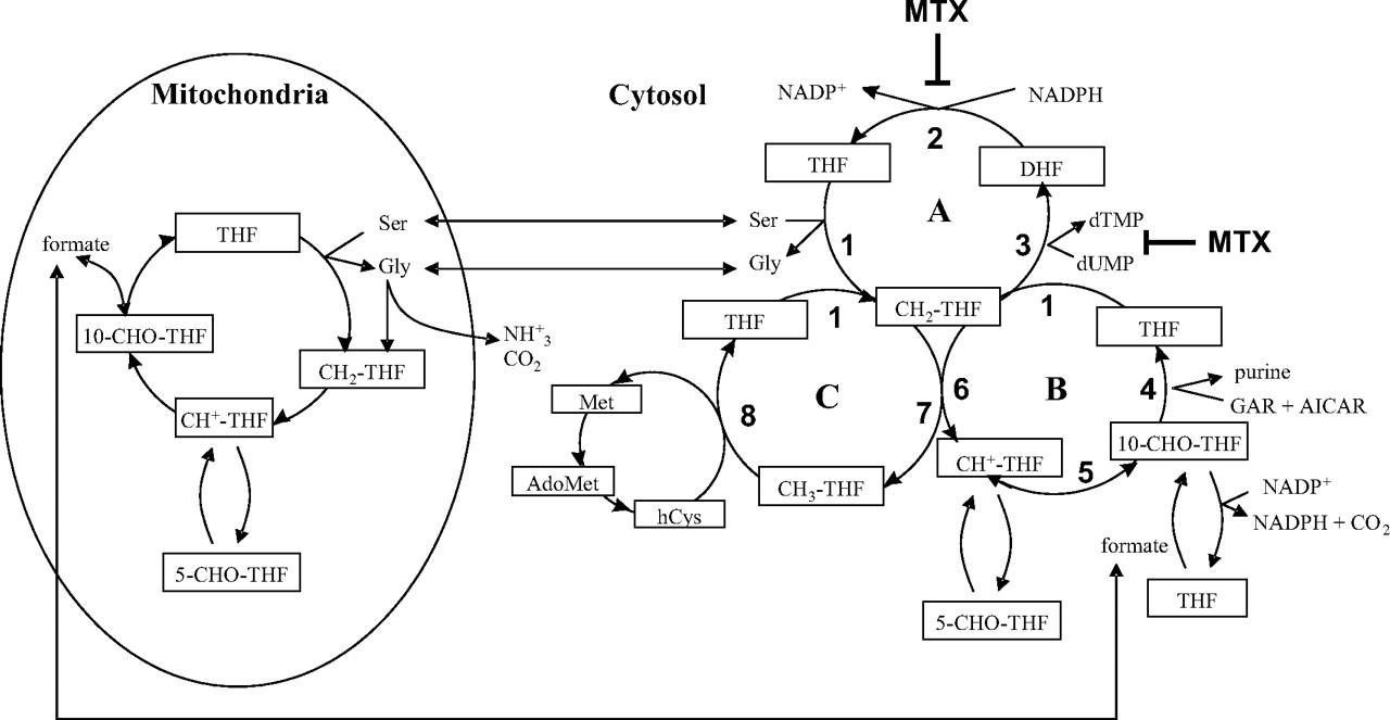 Serine Hydroxymethyltransferase Isoforms Are