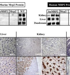 mrp2 block diagram wiring diagram g11generation and characterization of a novel multidrug resistance mrp2 block diagram [ 1280 x 851 Pixel ]