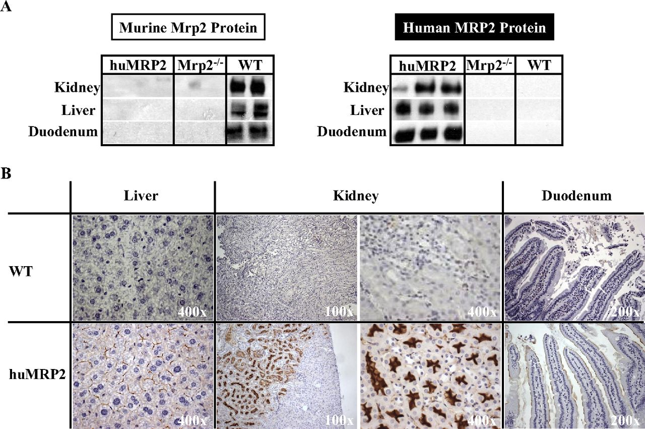hight resolution of mrp2 block diagram wiring diagram g11generation and characterization of a novel multidrug resistance mrp2 block diagram