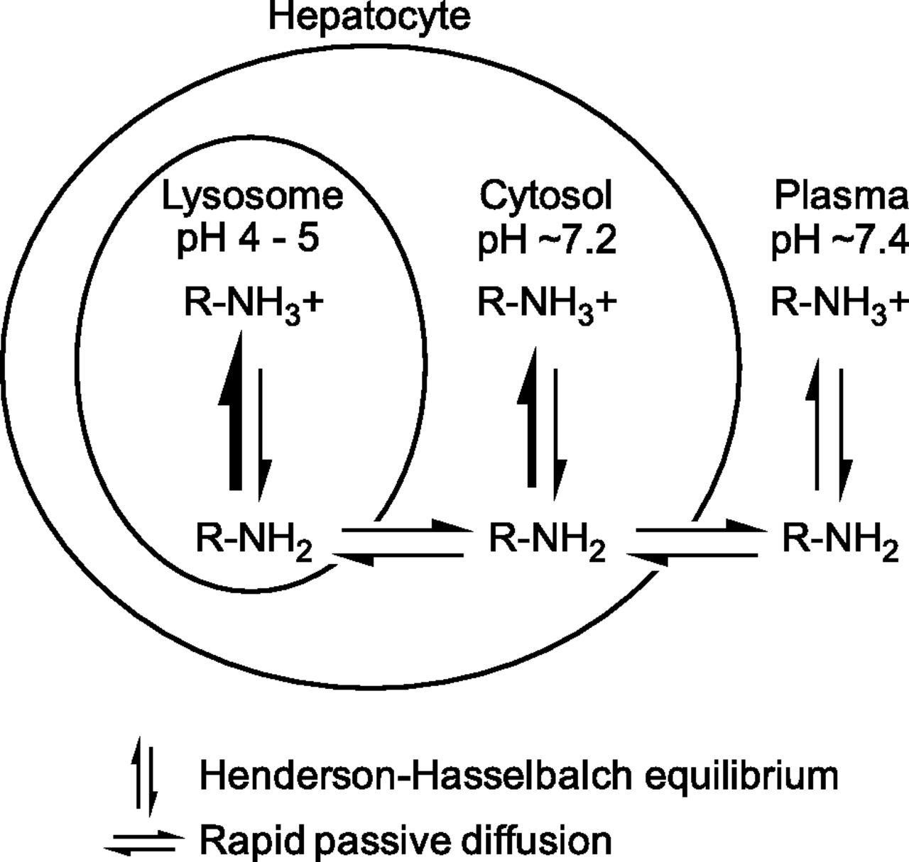 Lysosomal Sequestration Trapping Of Lipophilic Amine