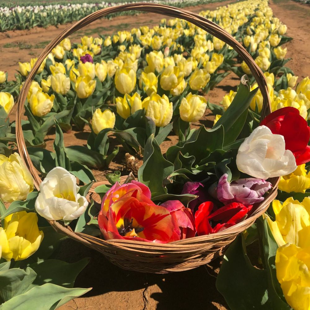 The tulips are in bloom at Texas Tulips in Pilot Point. Visitors to the farm, which is about an hour north of Dallas, can enjoy the flowers for a $5 entry fee and pick their own basket of blooms for $2.50 a stem.