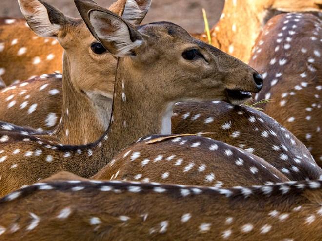 Spotted Deer, Bhubaneswar Zoo