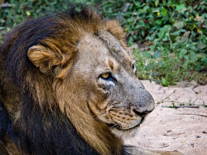 Lion, Bhubaneshwar