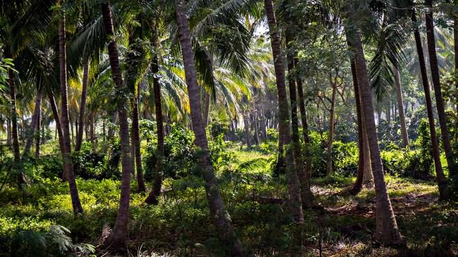 Palm plantation, Andhra Pradesh