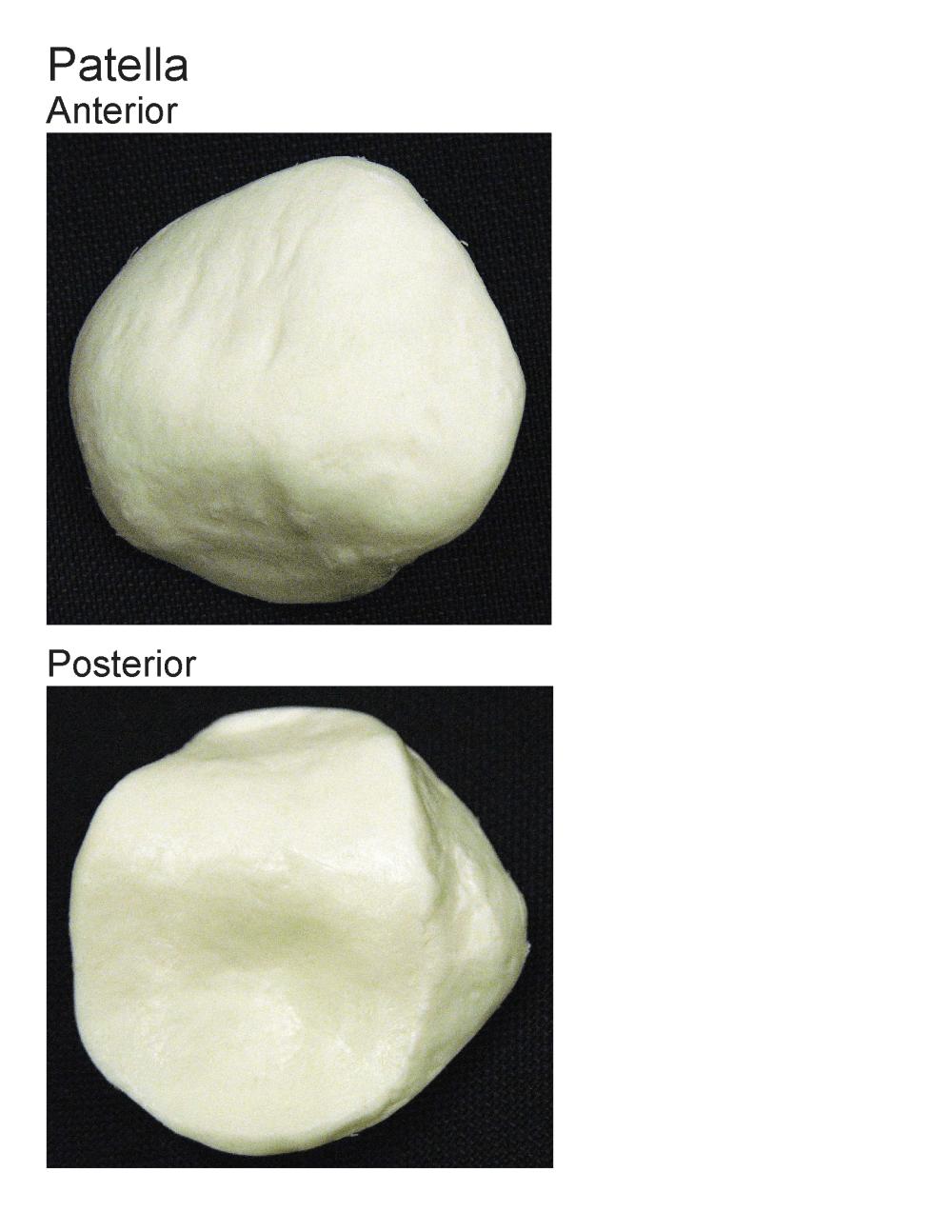 medium resolution of human patella diagram
