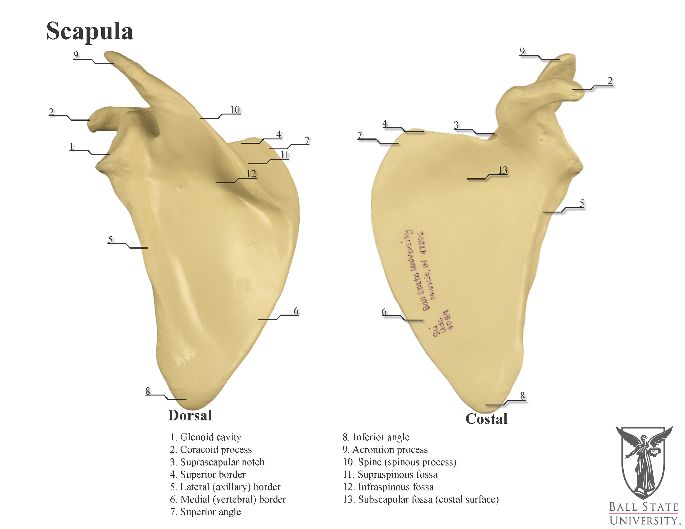34 Blank Scapula To Label