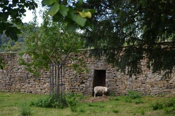 Downham sheep