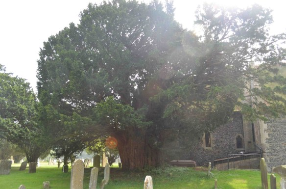 ringwould st nicholas yew