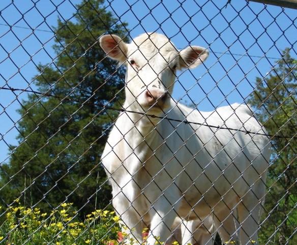 clarkson cemetery curious cow
