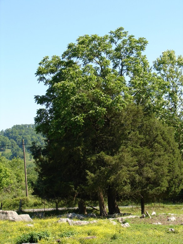 clarkson trees