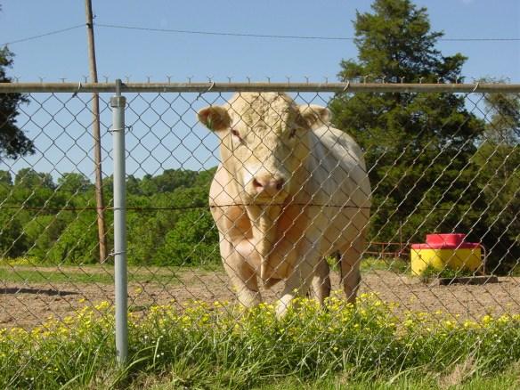 Clarkson bull