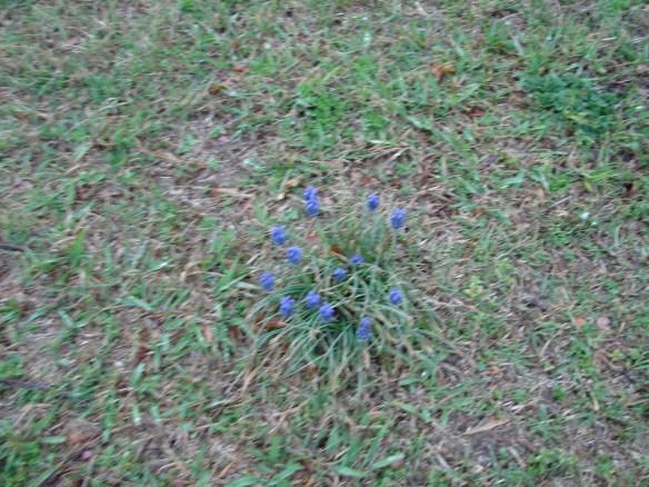 Luremia oak ridge flower