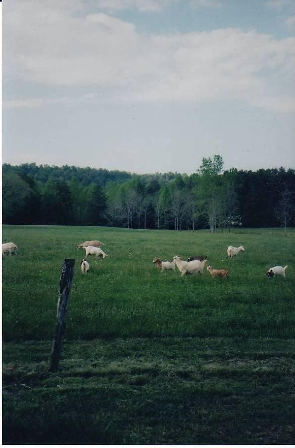 Harrold goats