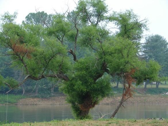 jane-tree-at-honeycutt