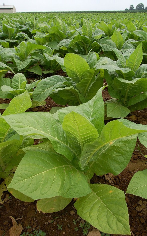 James Moore tobacco plants