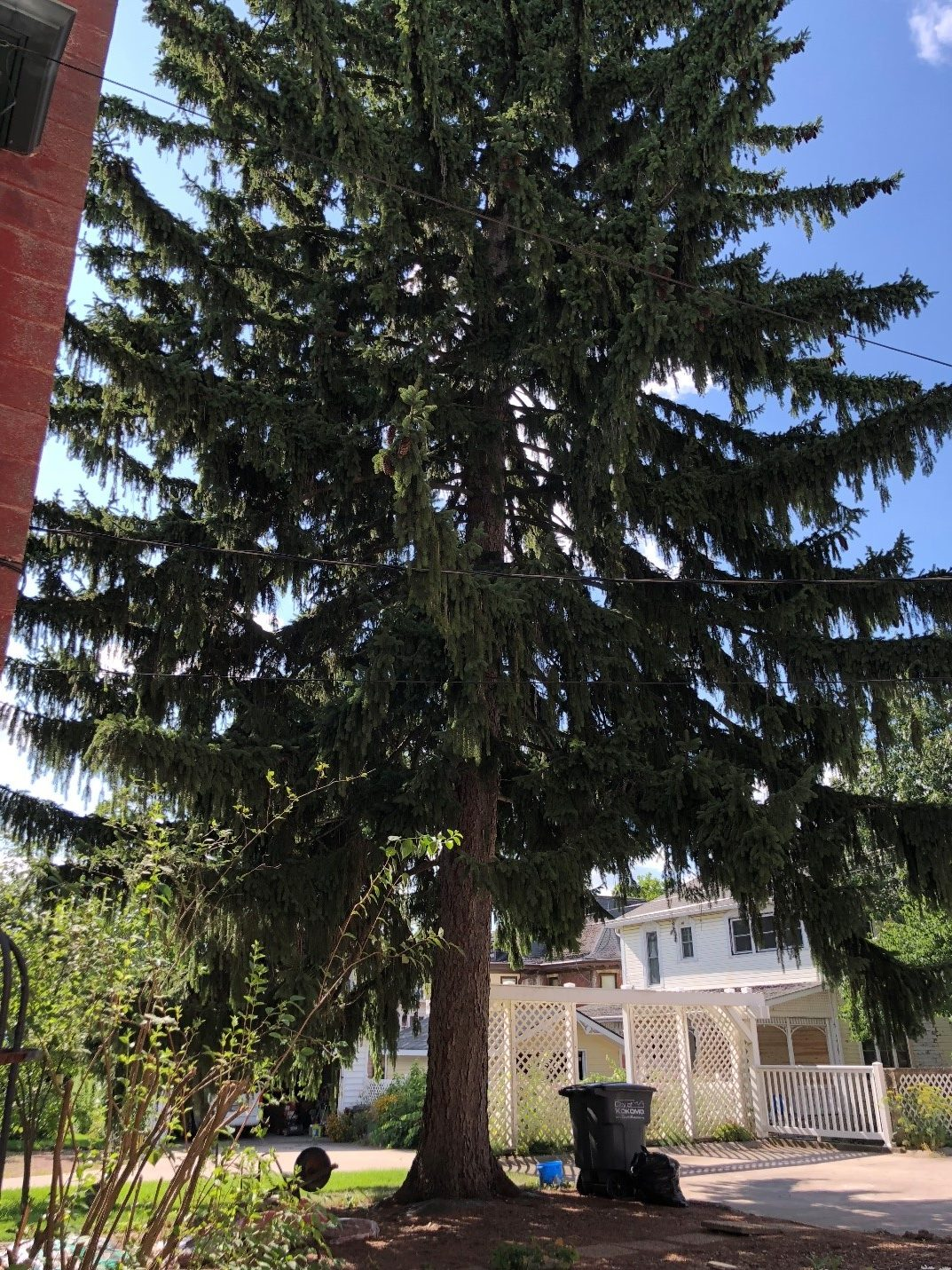 Kokomo Sycamore pine tree.jpg