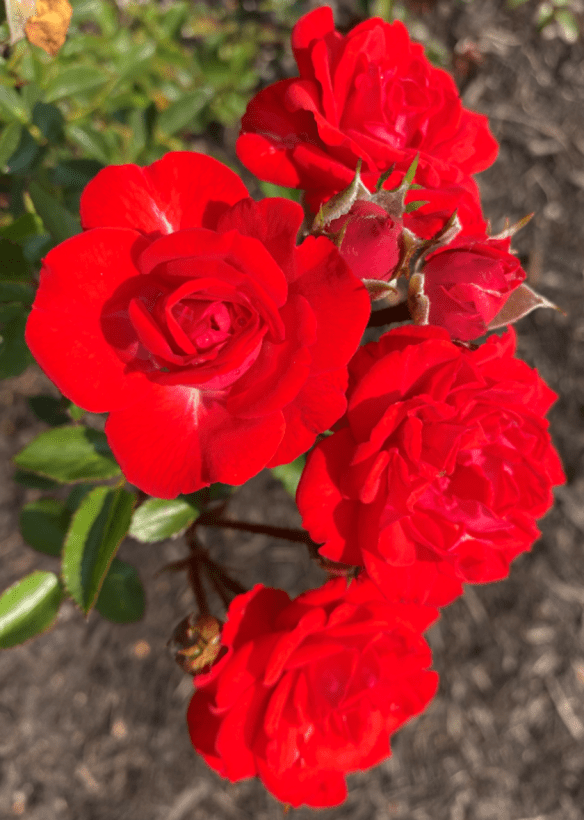 Australia Sydney red rose.png