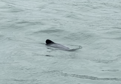 Christchurch dolphin.png