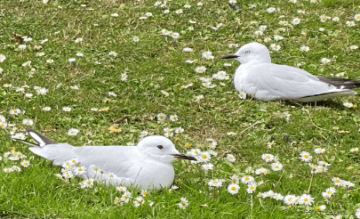 christchurch white birds.png