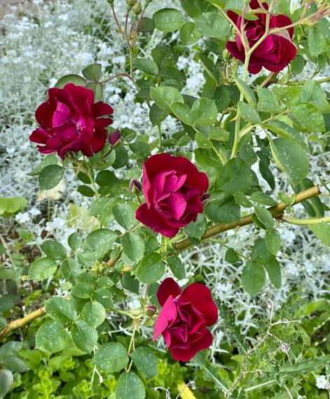 Kirsch roses