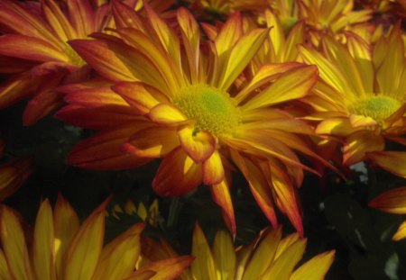 Wallpapers For Desktop Fall Colors Fall Mums Flowers Amp Nature Background Wallpapers On