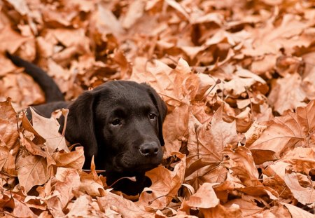 Black Lab Fall Wallpaper Romantic Dog Dogs Amp Animals Background Wallpapers On