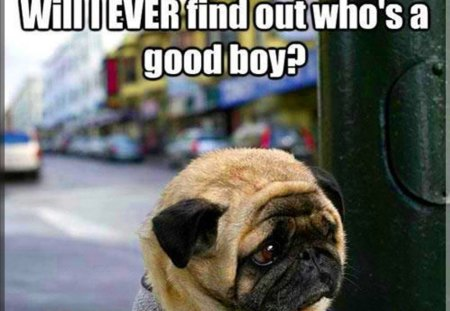 Cute Gingerbread Wallpaper Worried Pug Funny Amp Entertainment Background Wallpapers