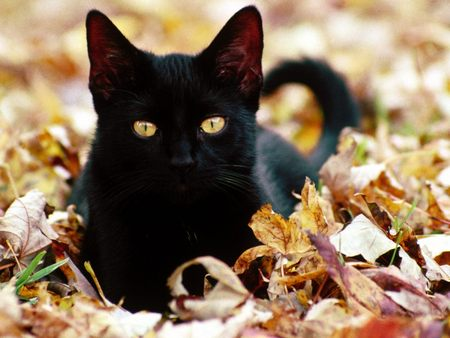 Fall Kitten Wallpaper Black Cat Autumn Leaves Cats Amp Animals Background