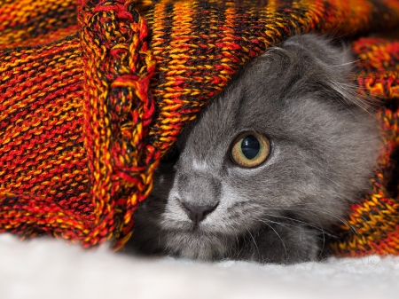 Cute Grey Cat Wallpaper Hiding Cats Amp Animals Background Wallpapers On Desktop