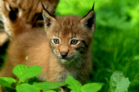 Cute Gingerbread Wallpaper Lynx Baby Cats Amp Animals Background Wallpapers On