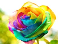 colorful rose - Roses Wallpapers and Images - Desktop ...