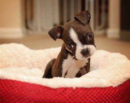 Cute Frenchie Wallpaper Cute Boston Terrier Dogs Amp Animals Background Wallpapers