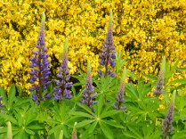 Lupins against Broom background