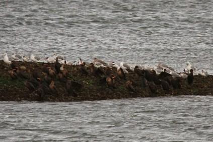 Caspian Terns, Glaucous-winged Gulls & Double-crested Cormorants