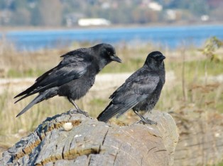 company for lunch--Crows