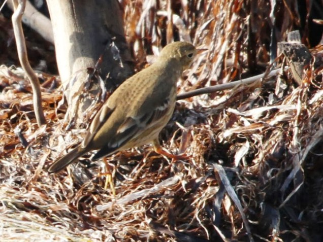 Pipit_IMG_0491