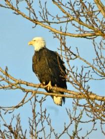 Bald Eagle (KB)